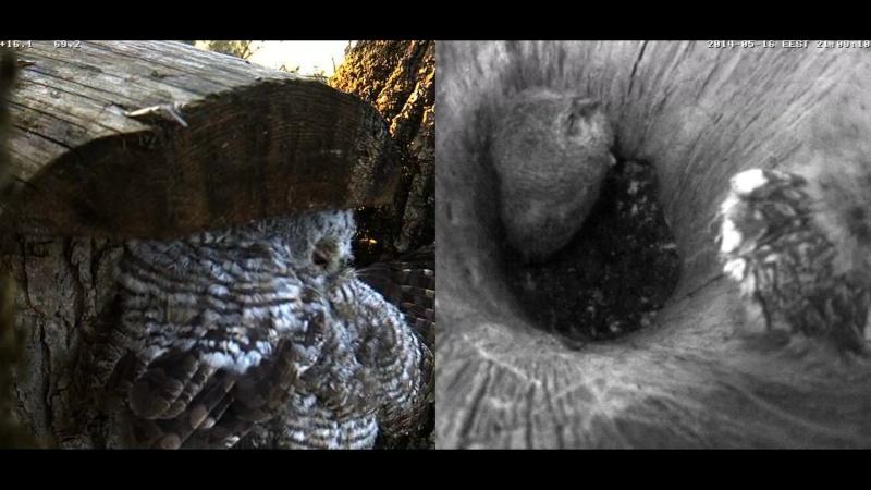 Estonian Tawny Owl Webcam 2014 - Page 23 Z69410