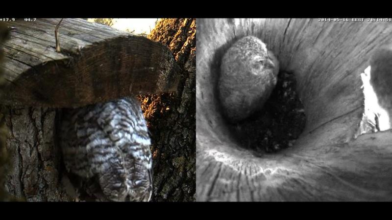 Estonian Tawny Owl Webcam 2014 - Page 23 Z69710