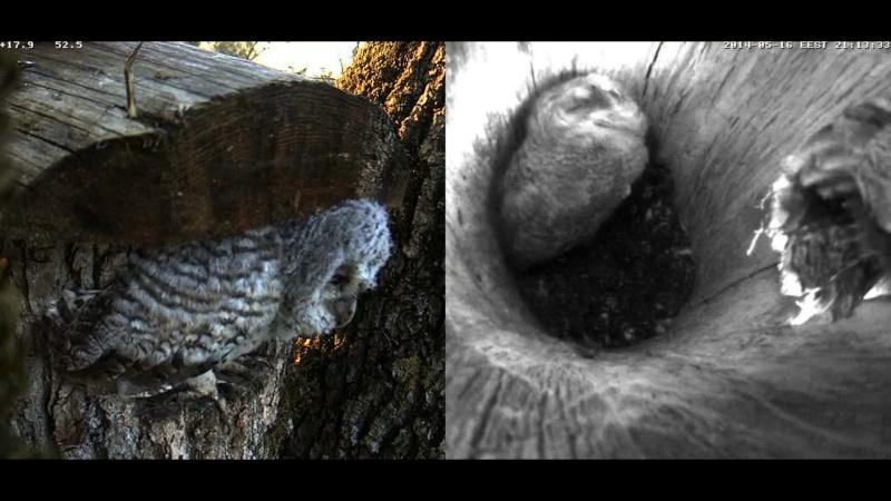 Estonian Tawny Owl Webcam 2014 - Page 23 Z69810
