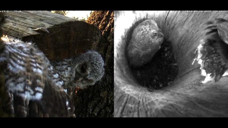 Estonian Tawny Owl Webcam 2014 - Page 23 Z69910