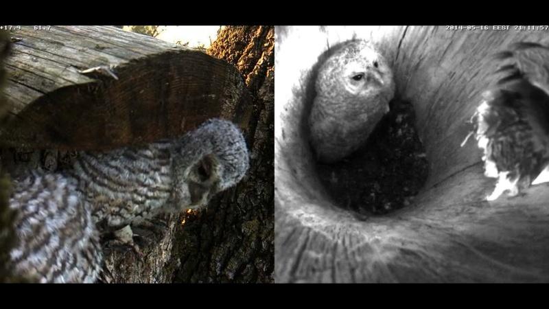Estonian Tawny Owl Webcam 2014 - Page 23 Z70011