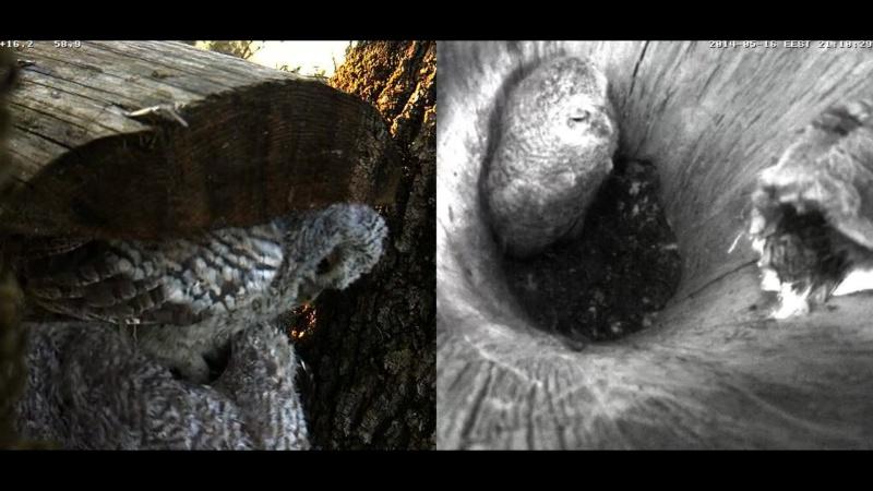 Estonian Tawny Owl Webcam 2014 - Page 23 Z70210