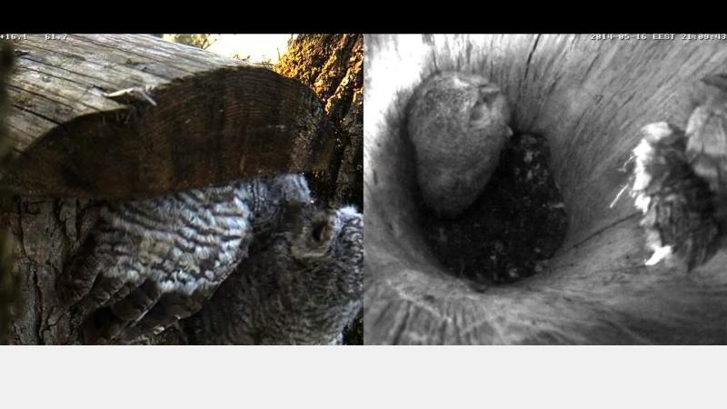 Estonian Tawny Owl Webcam 2014 - Page 23 Z70310
