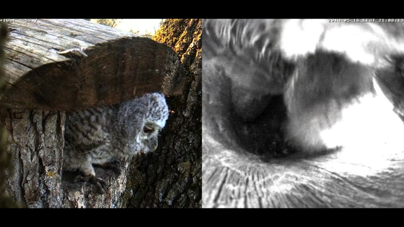 Estonian Tawny Owl Webcam 2014 - Page 23 Z70410