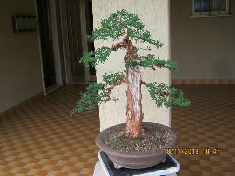 Un tasso che ce la mette tutta per diventare bonsai. Colori10