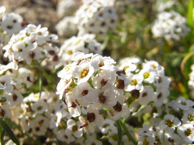 Maroc - flore de l'Atlas marocain 10101210