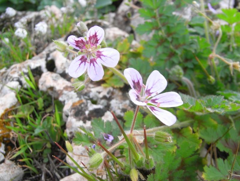 Maroc - flore de l'Atlas marocain 10101211