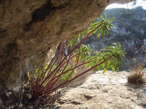 Euphorbia characias 10_rim10