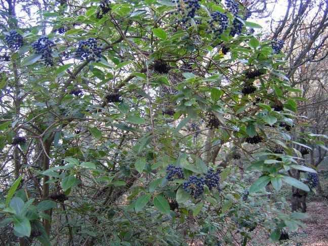 Viburnum tinus - viorne tin, laurier tin 1_natu10