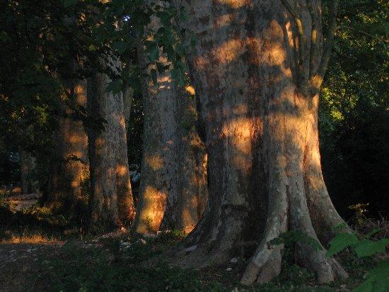 Les platanes et autres arbres vénérables chez Claire 21_06_10