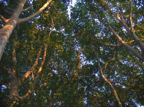 Les platanes et autres arbres vénérables chez Claire 21_06_11