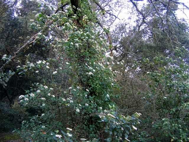 Viburnum tinus - viorne tin, laurier tin 6_mars10