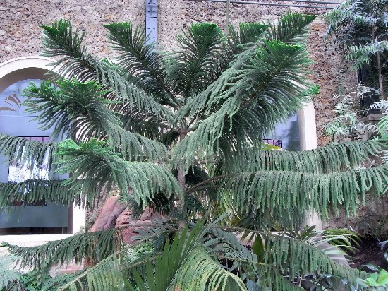 Araucaria araucana - désespoir du singe Arauca10
