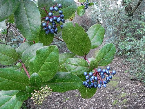 Viburnum tinus - viorne tin, laurier tin Baou-r10