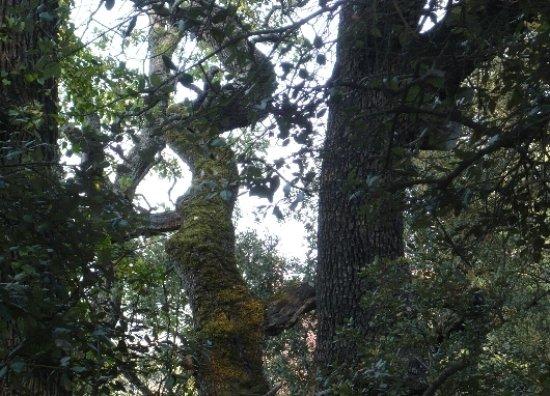 Quercus ilex - chêne vert Branch10