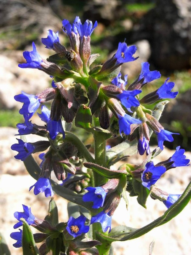 Maroc - flore de l'Atlas marocain Buglos10