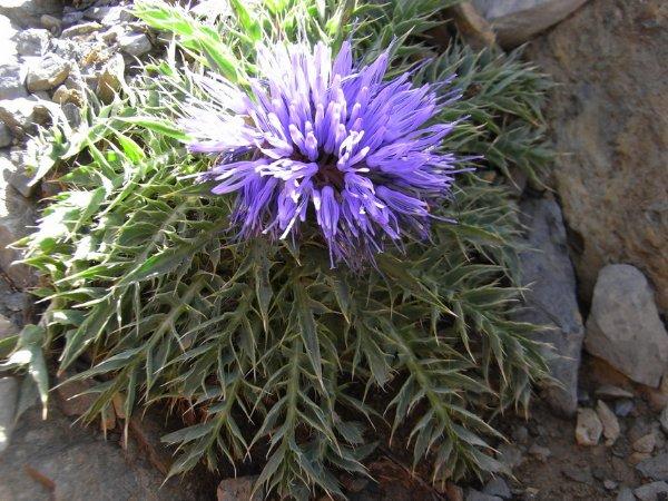 Maroc - flore de l'Atlas marocain Cardun10