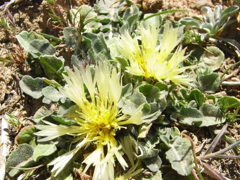 Maroc - flore de l'Atlas marocain Centau10