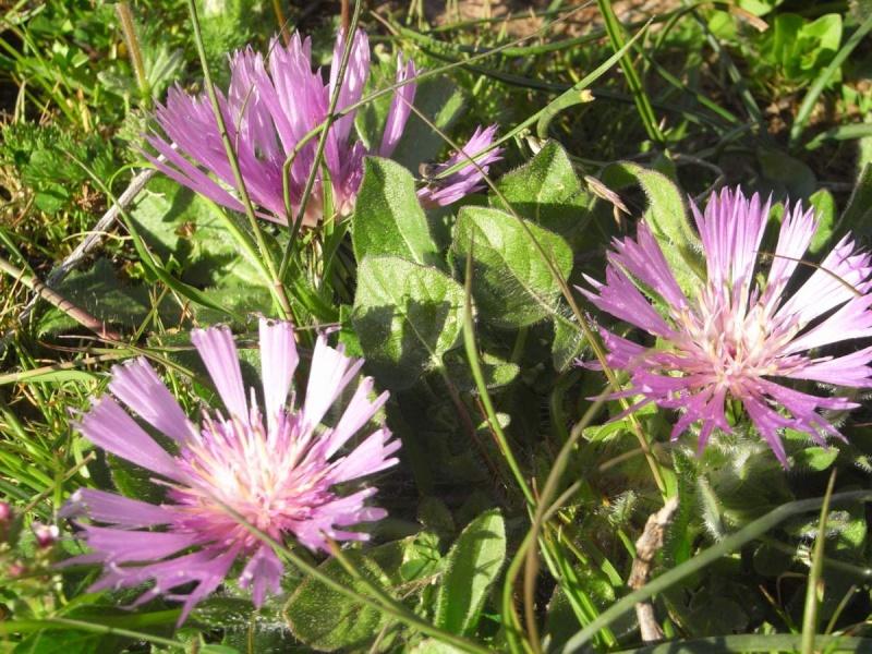 Maroc - flore de l'Atlas marocain Centau11