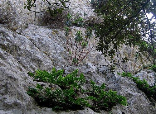 Euphorbia characias Copy_100