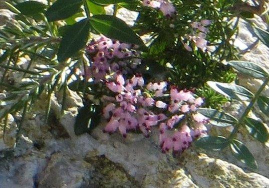 Erica multiflora - bruyère à fleurs nombreuses Copy_117