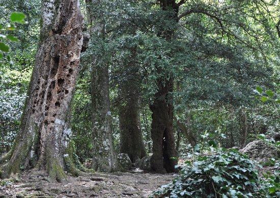 Sequoiadendron giganteum - séquoia géant - Page 2 Copy_119