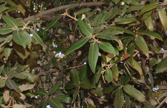 Quercus ilex - chêne vert Copy_120