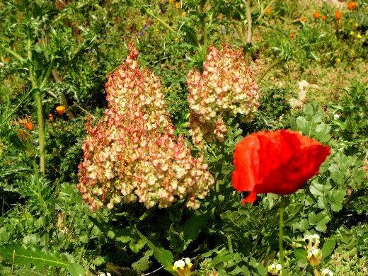Maroc - flore de l'Atlas marocain Copy_128