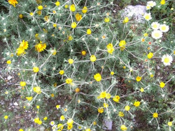 Maroc - flore de l'Atlas marocain Copy_137
