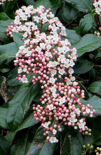 Viburnum tinus - viorne tin, laurier tin Copy_210
