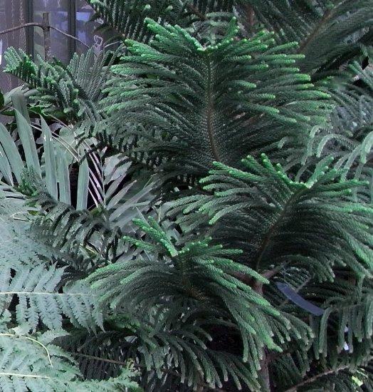 Araucaria araucana - désespoir du singe Copy_212