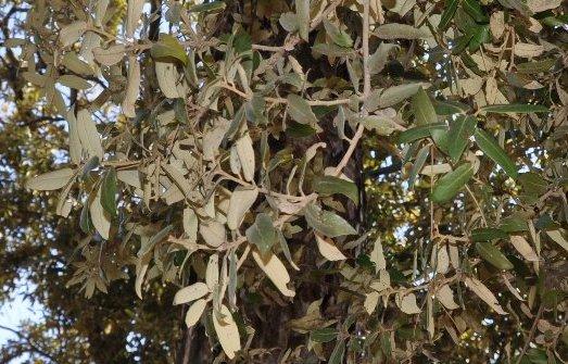 Quercus ilex - chêne vert Copy_213