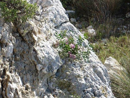 Erica multiflora - bruyère à fleurs nombreuses Copy_310