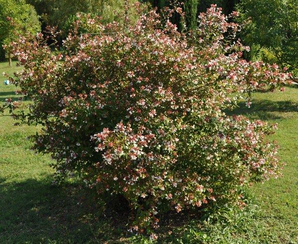 Abelia x grandiflora Copy_o21