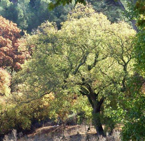 Acer monspessulanum - érable de Montpellier Copy_o27