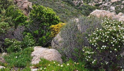 Cistus monspeliensis - ciste de Montpellier  Copy_o33
