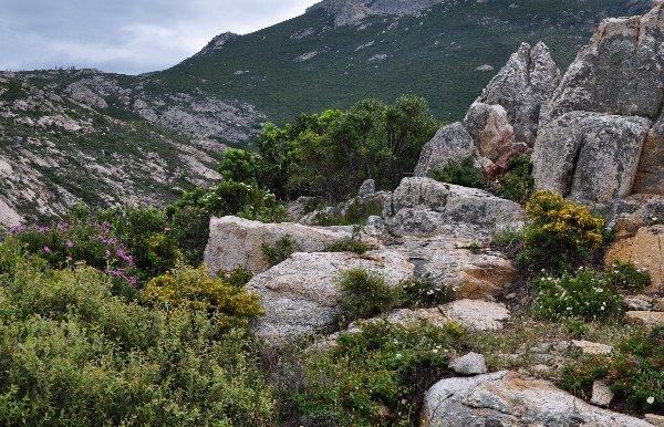 Cistus monspeliensis - ciste de Montpellier  Copy_o35