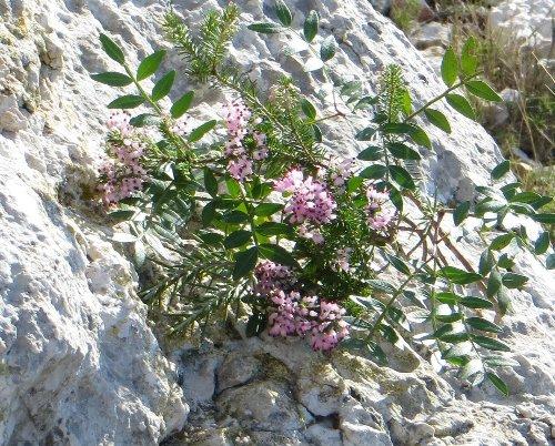 Erica multiflora - bruyère à fleurs nombreuses Copy_o52