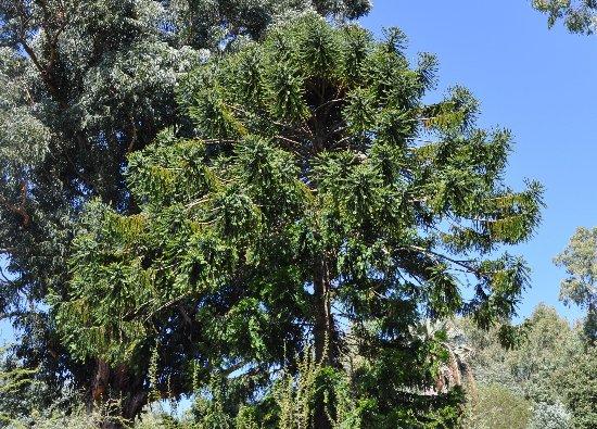 Araucaria araucana - désespoir du singe Copy_o65
