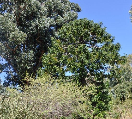 Araucaria araucana - désespoir du singe Copy_o66