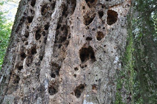 Sequoiadendron giganteum - séquoia géant - Page 2 Copy_o67