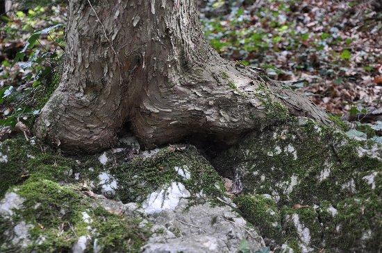 Taxus baccata, Fagus sylvatica [devinette] Copy_o69