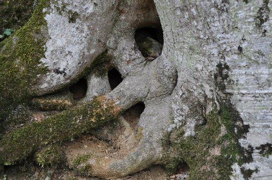 Taxus baccata, Fagus sylvatica [devinette] Copy_o70