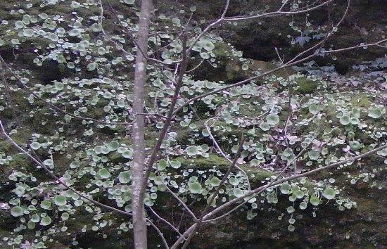 Umbilicus rupestris - nombril de Vénus - Page 2 Copy_o78