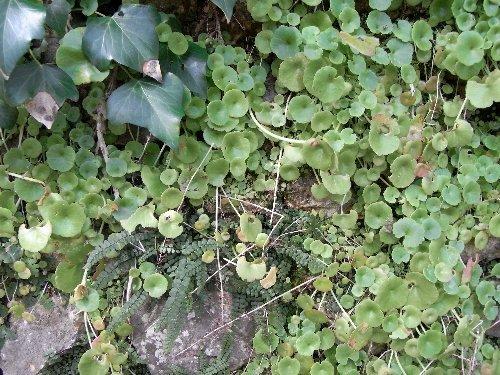 Umbilicus rupestris - nombril de Vénus - Page 2 Copy_o79
