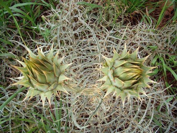 Maroc - flore de l'Atlas marocain Cynara11