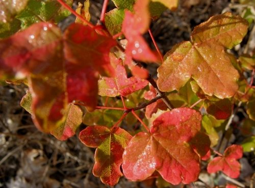 Acer monspessulanum - érable de Montpellier Erable10