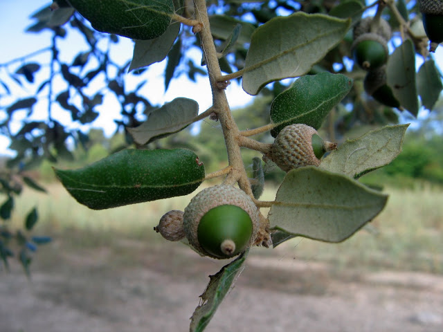 Quercus ilex - chêne vert - Page 2 Fin_ao11