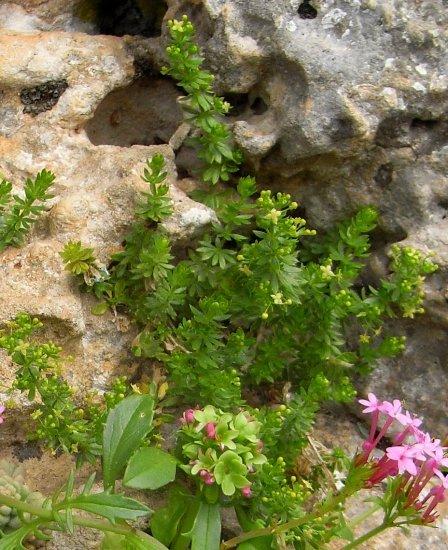 Maroc - flore de l'Atlas marocain Galium10