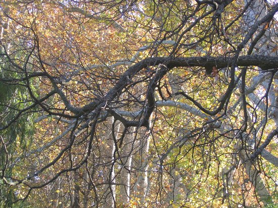Les platanes et autres arbres vénérables chez Claire Guiber10
